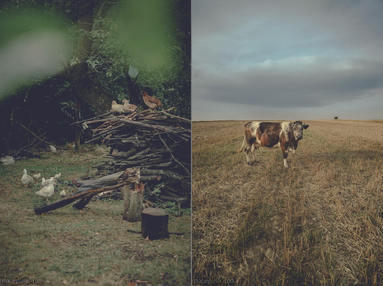 Kurczaki na grzędzie / Krowa na ściernisku