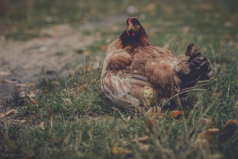 Kwoka z kurczakami