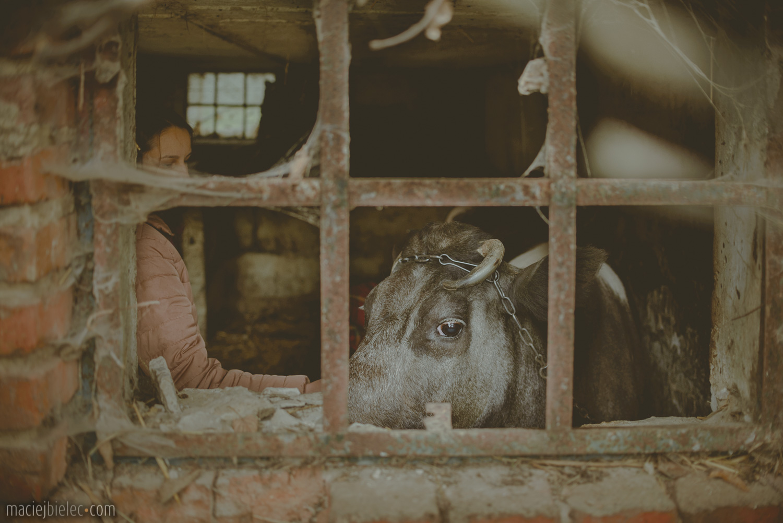 Krowa w oborze