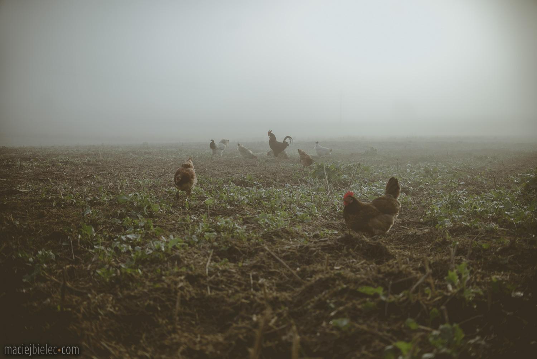 Kurczaki na ściernisku we mgle