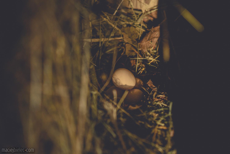 Jaja w kurzym gnieździe